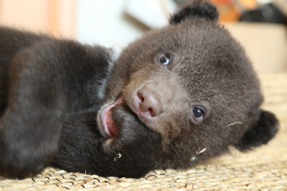 A young bear cub lying on the floor of the den with a paw in his mouth.
