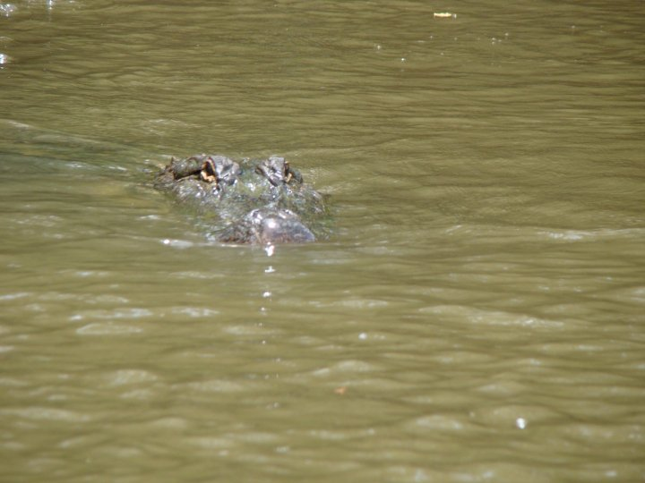 A gator swimming towards our boat in Honey Island Swamp
