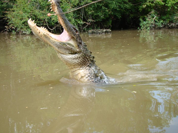 Side shot of the gator as it goes to grab the hotdog from the stick.