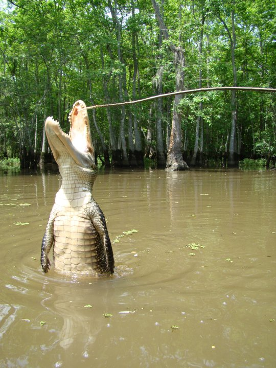 A gator jumps vertically out of the water, attempting grab the hotdog on the end of a stick, in Honey Island Swamp.