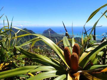 ʻIeʻie (Freycinetia arborea)