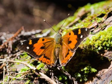 Our native butterfly, the pulelehua (Vanessa tameamea)