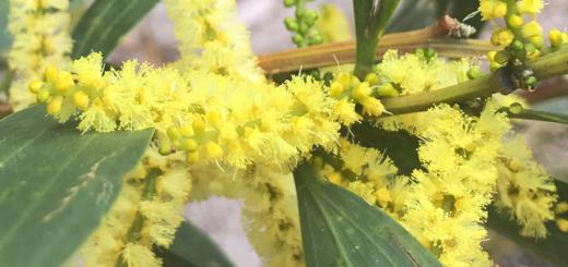Wattle (Acacia Longifolia)