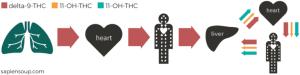 Metabolická cesta THC po inhalaci. heart = srdce; liver = játra