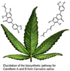 Znázornění biosyntetické reakce pro cannflavin A a cannflavin B zrostliny Cannabis sativa.