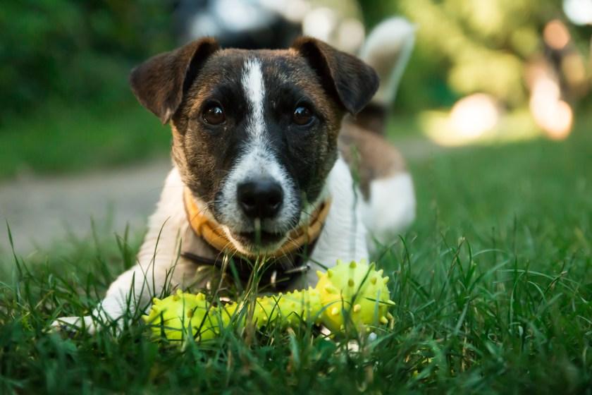 Grupp 3: Terrier
