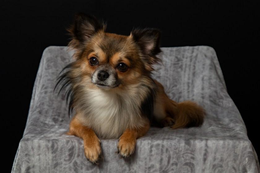 Grupp 9: Sällskapshundar