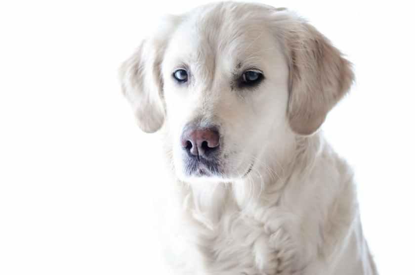 Hitta rätt uppfödare som avlar på friska hundar.