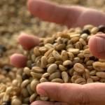 jenis pengolahan biji kopi anti mainstream - kopitem