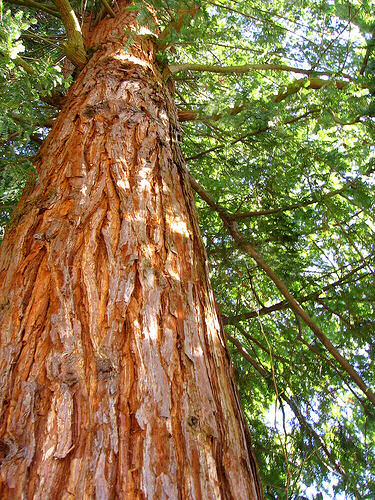 Image result for cedar tree plantation in kenya