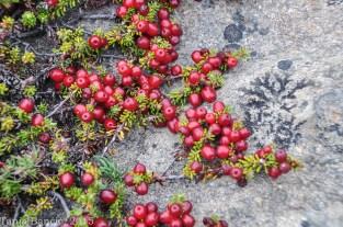 Patagonsko jagodičevje. Sama lupina in pečki :P