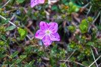 Gorsko cvetje.