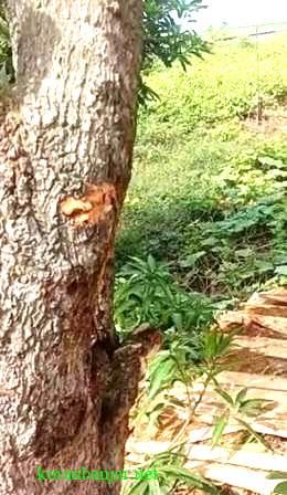 Bercak darah terlihat pada sebatang pohon di sekitar lokasi kejadian temuan mayat di Amuntai, Kabupaten HSU. (foto: ramli)
