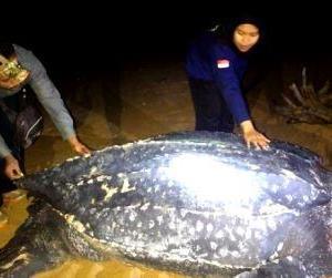 Penemuan Satwa Laut Langka di Kalbar, Penyu Belimbing Terbesar di Dunia