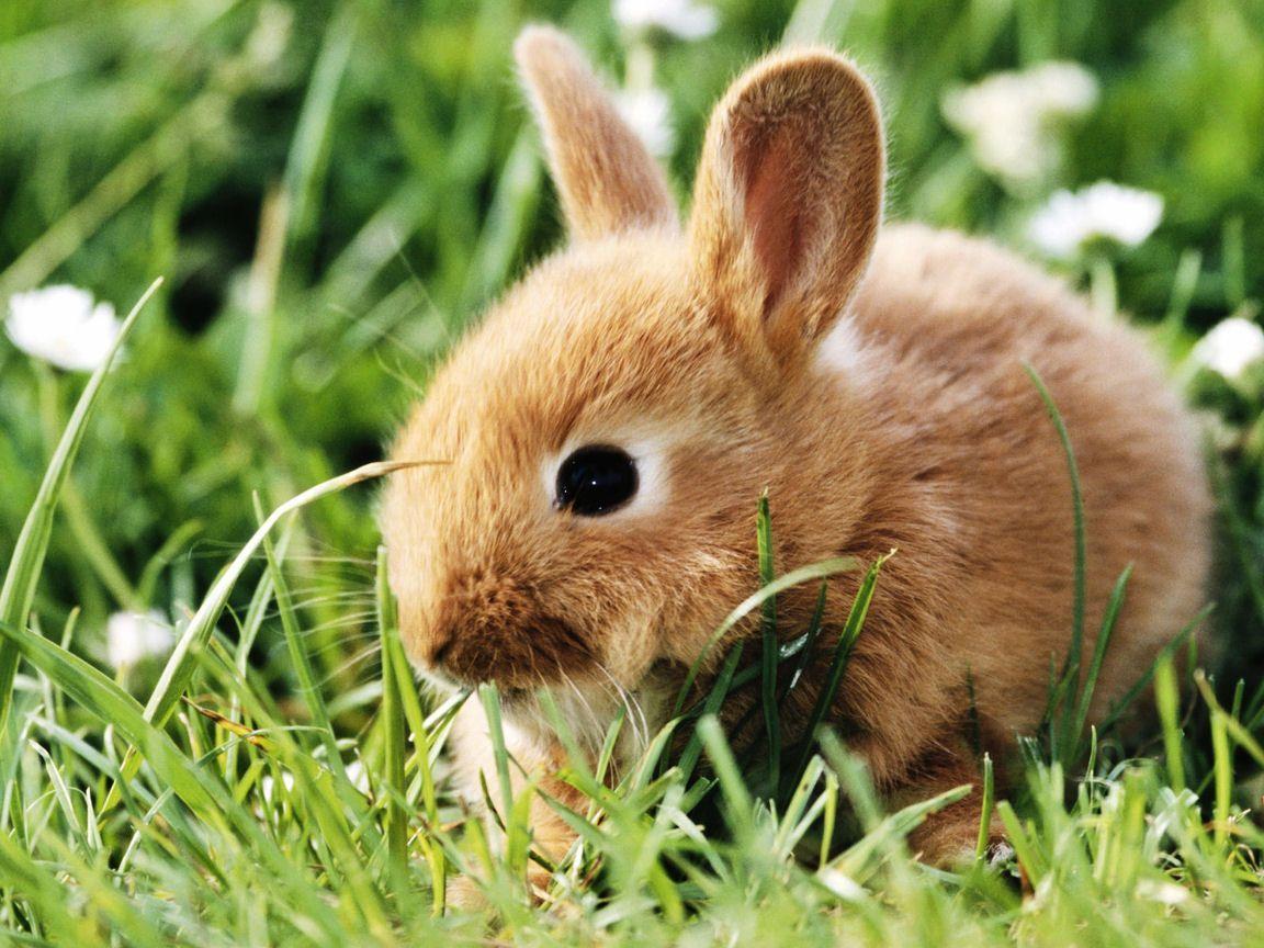 lapins et lievres