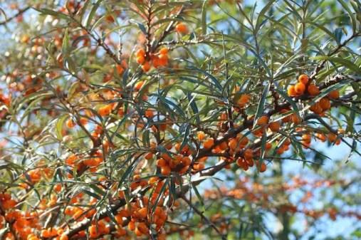 sea buckthorn berries korean skincare vitamin tree