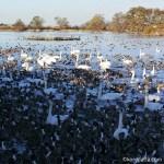 瓢湖の白鳥おじさんによる餌付けの時間はいつ?白鳥がいる時間帯や餌やりについて。