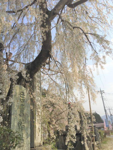 法善寺の桜