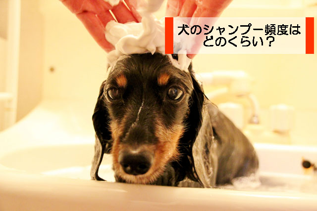 犬のシャンプー頻度