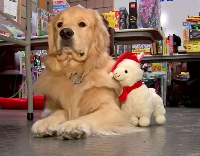 Полицейский пес украл игрушки из коробки пожертвований для детей.