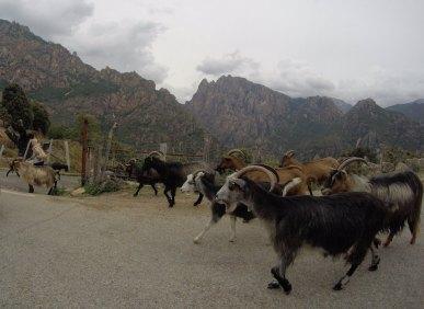 Ziegen auf Korsika in den Bergen