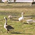 Enten und Ziegen auf Erikas Horsefarm