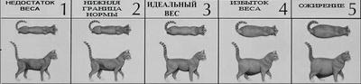 Упитанный кот — не радость, а проблема: как бороться с ожирением у кошек. Ожирение у кошек