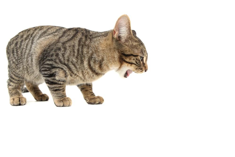 Почему кошка отрыгивает пищу после еды. Почему кошки срыгивают еду. Когда может понадобиться срочная помощь ветеринара