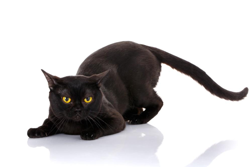 Что делать когда у кошки болит возле хвоста