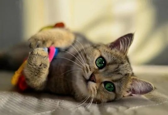 Как лечить эндометрит у кошки