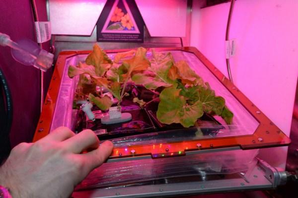 Skleník je v naší evropské laboratoři Columbus a září růžově, jelikož vědci zjistili, že načervenalé světlo je pro růst rostlin nejdůležitější. Pěstování rostlin ve vesmíru není jednoduché, ale veškerý výzkum a technologie, které používáme, může být přímo použito na Zemi, jelikož našim cílem je vypěstovat zeleninu za pomoci nejmenšího možného množství energie a zdrojů.