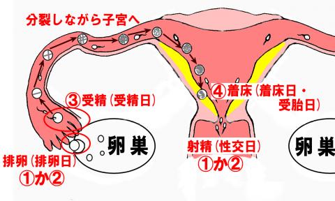 受精日とは?排卵日や性交日や着床日(受胎日)と同じ?違いを解説!