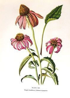 Picture-of-Echinacea-flowers
