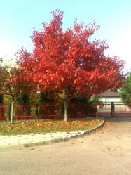 Drzewa w miescie 2017 KOSTROMA (15)