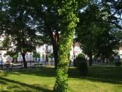 Drzewa w miescie 2017 KOSTROMA (44)