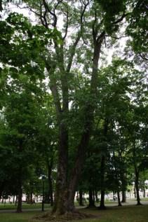 Drzewa w miescie 2017 KOSTROMA (51)