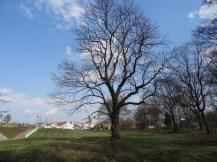 Drzewa w miescie 2017 KOSTROMA (66)