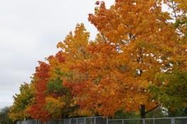 Drzewa w miescie 2017 KOSTROMA (77)