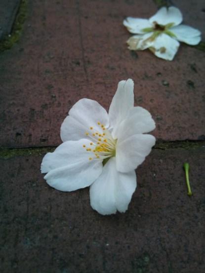 目黒川の散り桜