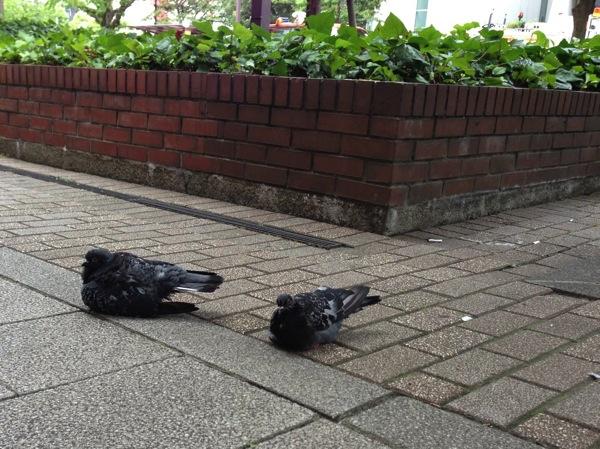 地面に座り込む鳩