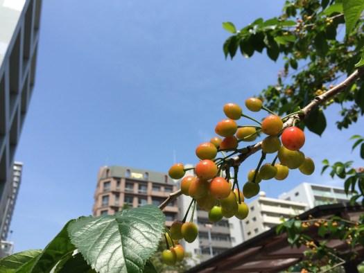 桜の木の実