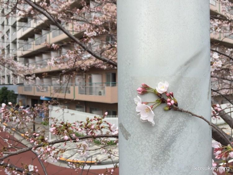 聖路加付近の隅田川テラスの桜