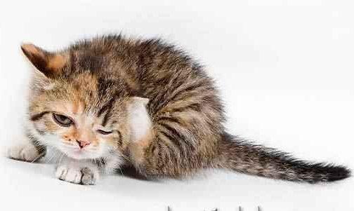 Почему кошка прижимает уши наблюдаем и изучаем поведение питомца