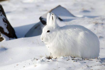 Αρκτικός λαγός
