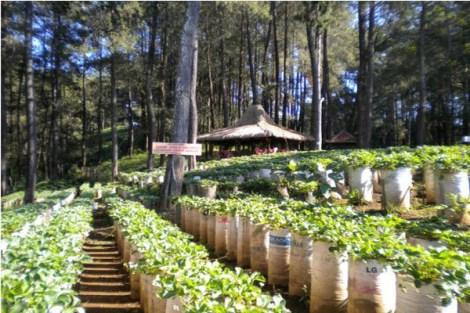 Memetik Stroberi Di Lembang Bandung Kota Ke Kota