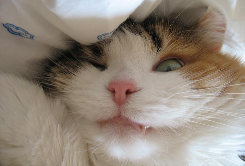 Постоянно сухой нос у кошки. Сухой нос — не вопрос