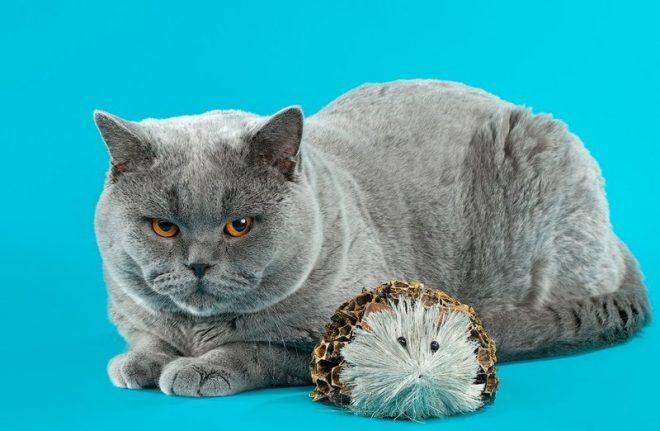 Если кошка сильно линяет. Правила и рекомендации о том, что делать, если кошка сильно линяет Сильно линяет кот