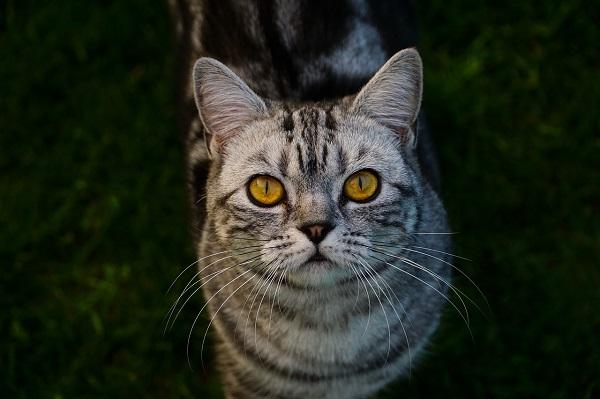Чем кормить кота после кастрации — натуральными продуктами или промышленными кормами. Как правильно кормить кота после кастрации Как кормить стерилизованных котов