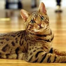 Препараты, которые стимулируют иммунитет у кошек: нужны или нет?