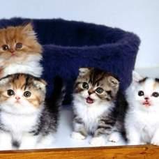 Чистим уши котенку правильно.